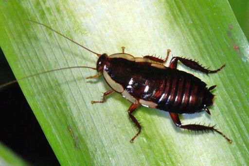 Gisborne Cockroach